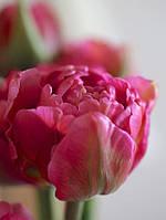 Тюльпан Chato