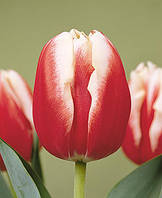 Тюльпан Триумф Leen van der Mark 30 шт./уп.