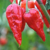 """ПЕРЕЦ ЧИЛИ """"НАГА МОРИЧ"""" (Pepper Naga Morich), фото 1"""