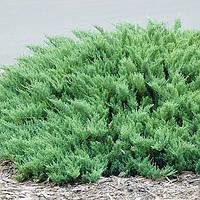 Можжевельник казацкий Tamariscifolia, контейнер 3 л D 20-25 см