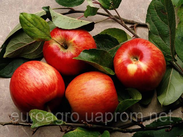 Сколько яблок осталось в хранилищах ЕС