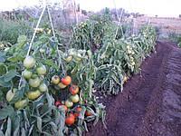 Подпорки для длиннорослых помидор из композитной арматуры.
