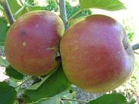 Саженцы яблони Ред Боскоп (ММ-106)