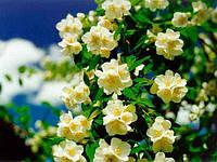Жасмин цветы 50 гр