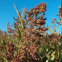 Трава газонна Суданка (1 кг)
