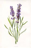 Масло лаванды (Lavender oil)