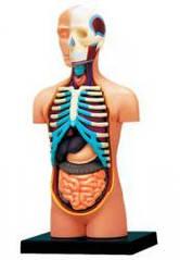 Анатомическая модель человека Торс человека  4D Master 26051