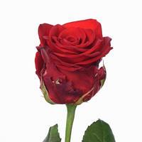"""Роза """"Ред Игл"""""""