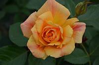 Роза Мишка