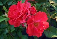 Роза Корал Дрифт