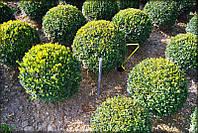 Самшит вечнозеленый стрижка под шар 55-60 см.