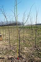 Липа мелколистная (Tilia cordata) 250-300см.
