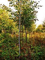Липа мелколистная (Tilia cordata) 350-400см.