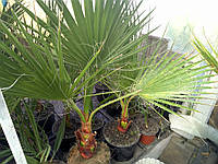 Пальми вашингтонії