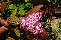 Спирея японская Крупнолистная (Spiraea japonica «Macrophylla») 50-60 см