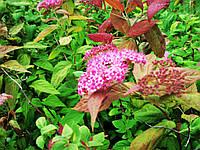 Спирея японская Крупнолистная (Spiraea japonica «Macrophylla») 100-130 см