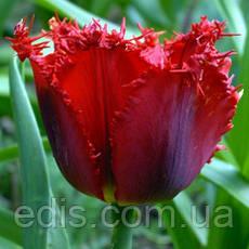 Тюльпан бахромчатый Red Wing (Ред уинг) 3 шт./уп., фото 3