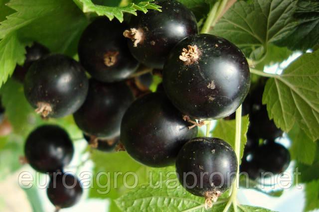 На украинском ягодном рынке появился первый урожая смородины