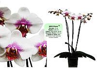 Подростки орхидеи. Сорт Eliana