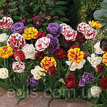 Колекція махрових тюльпанів 25 сортів 50 цибулин/уп.