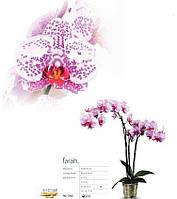 Подростки орхидеи. Сорт Farah