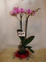 Орхидея Фаленопсис Concorde (2 цветоноса)