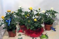 Роза горшечная, 30см
