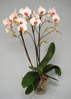 Фаленопсис 5 веток (орхидея)