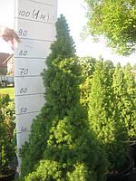 Саженцы Коника-контейнер 45л. висота 90 см