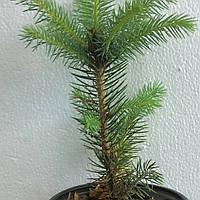 Ель голубая Кайбаб (Picea Pungens Kaibab), фото 1