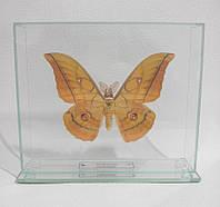 Сувенир - Бабочка под стеклом Antheraea yamamai m
