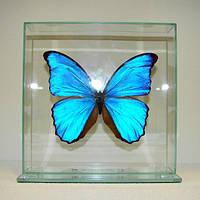 Сувенир - Бабочка под стеклом Morpho didius