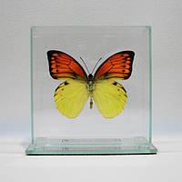 Сувенир - Бабочка под стеклом Hebomoia leucippe