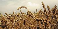 Україна в 2013-2014 році вже експортувала 32 млн тон зернових