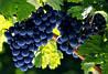 Невероятная находка: древнейшая виноградная косточка