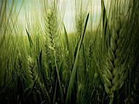Эксперты прогнозируют низкое качество урожая ячменя