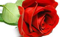 Роза импортная 60см