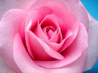 Роза импортная 70см