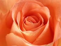 Роза импортная 80см