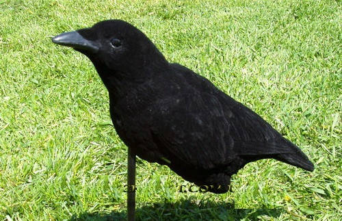 Чучело вороны Crow Caller Lucky Duck, фото 2