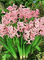 Гиацинт многоцветковый Pink Festival 20 шт./уп.