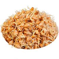 Проростки пшеницы - органическая