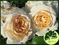 Роза Kordes Lions Rose