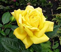 Троянда жовта чайно-гібридна Solo Yellow