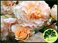 Роза Английская Excalibur