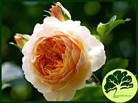 Роза Английская Ginger Silabub (плетистая)