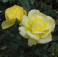 Троянда жовта поліантова Avenue Yellow