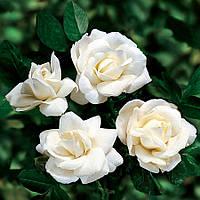 Троянда плетиста біла Family White
