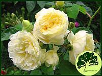 Роза Английская Perpetually Yours (плетистая)