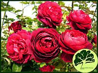 Роза Английская King Arthur